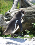 Penguin. View the penguins in summer Stock Image