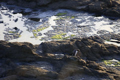 Penguin waddling on rocks in New Zealand stock photos