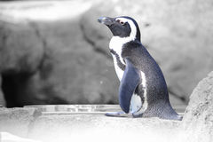 Penguin is waiting. Photo of a penguin with the color removed except for him Stock Photos