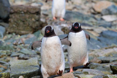 Penguin walk Stock Images