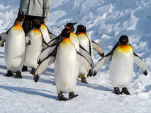 Penguin walk on snow. Emperor penguin walk on snow Royalty Free Stock Image