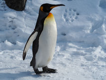 Penguin walk on snow. Emperor penguin walk on snow Stock Photo