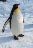 Penguin walk on snow Royalty Free Stock Photos