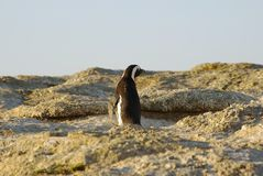Penguin walking Royalty Free Stock Photography