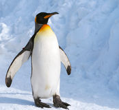 Penguin walking alone. Penguin walk a long the coast Stock Images