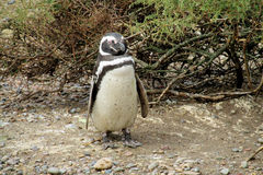 Penguin walking in the bushes Royalty Free Stock Image
