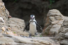 Penguin walking, New York City zoo Royalty Free Stock Image