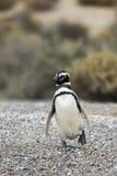 Penguin Walking Stock Photo