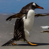 Penguin walking on sand Stock Image