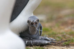 Penguin Watching Over Hatchling Royalty Free Stock Photography