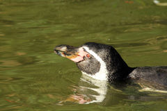 Penguin in water Royalty Free Stock Images