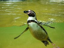 Penguin in water basin Stock Image