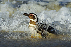 Penguin in the water. Bird in the sea waves. Penguin swiming in the waves. Sea bird in the water. Magellanic penguin in ocean wave Royalty Free Stock Photos