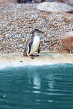 Penguin on the water Royalty Free Stock Images