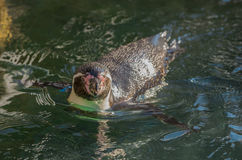 Penguin in the water Royalty Free Stock Images