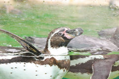 Penguin in a water tank Stock Photo