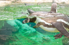 Penguin in a water tank Royalty Free Stock Photography