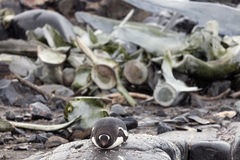 Penguin and whale bones Stock Images