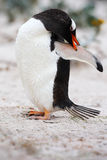 Penguin on the white sand beach. Gentoo penguin, Pygoscelis papua , cleaning plumage on the white beach with dark blue sea wave, F Royalty Free Stock Image