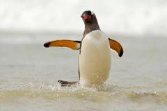 Penguin in the white waves. Gentoo penguin, water bird jumps out of the blue water while swimming through the ocean in Falkland Is Royalty Free Stock Images