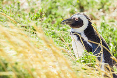 Penguin in the wild. Green and yellow colored grass Stock Photo