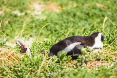 Penguin in the wild. Green and yellow colored grass Royalty Free Stock Photo