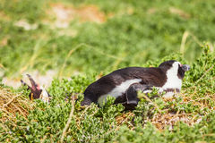 Penguin in the wild. Green and yellow colored grass Royalty Free Stock Photos