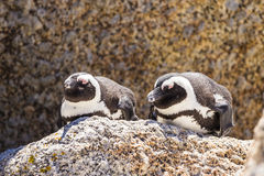 Penguin in the wild. Lying on the rock Stock Photography