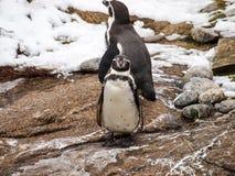 Penguin. Wildlife in winter antarctica Royalty Free Stock Photos