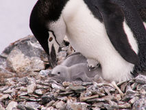 Free Penguin With Two Chicks Stock Image - 2537581