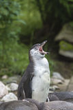 Penguin yawn Royalty Free Stock Image