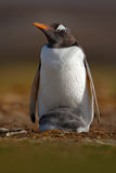 Penguin with young in plumage. Wildlife behaviour scene from nature. Penguin with young in plumage. Wildlife behaviour scene from nature, Falkland stock images
