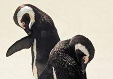 Penguines obrazy royalty free