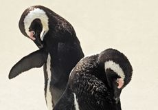 Penguine Royalty Free Stock Images
