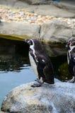 Penguing anseende på en vagga Arkivfoton