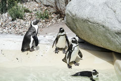 Penguing linje Arkivbilder