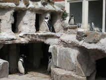 Penguins δίπλα στο νερό Στοκ φωτογραφία με δικαίωμα ελεύθερης χρήσης