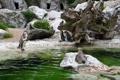 penguins ζωολογικός κήπος Στοκ φωτογραφίες με δικαίωμα ελεύθερης χρήσης