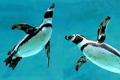 penguins κάτω από το ύδωρ Στοκ εικόνες με δικαίωμα ελεύθερης χρήσης