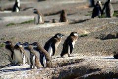 Penguins και οι φωλιές τους στοκ εικόνες