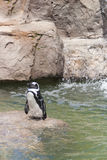 penguins κολυμπώντας Στοκ Εικόνες