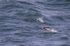 Penguins μέσα σε Άγιο Magdalena Island, Παταγωνία στοκ εικόνα με δικαίωμα ελεύθερης χρήσης