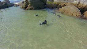 Penguins που κολυμπά στο λίθο απόθεμα βίντεο
