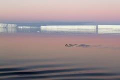 Penguins που κολυμπά στον ανταρκτικό ήχο Στοκ εικόνα με δικαίωμα ελεύθερης χρήσης
