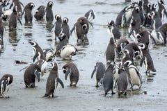 Penguins που στέκεται στην ακτή στη Χιλή Στοκ Φωτογραφία