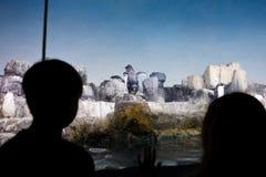 penguins προσέχοντας Στοκ Φωτογραφίες