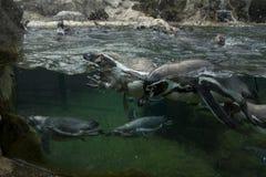 Penguins σε έναν ζωολογικό κήπο Στοκ φωτογραφία με δικαίωμα ελεύθερης χρήσης