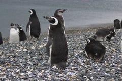 Penguins σε Ushuaia Στοκ Φωτογραφίες