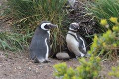 Penguins σε Ushuaia Στοκ φωτογραφίες με δικαίωμα ελεύθερης χρήσης