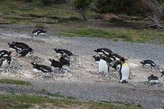 Penguins σε Ushuaia Στοκ Εικόνα